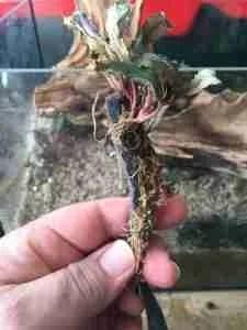 Bucephalandra attached to felt