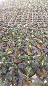 bucephalandra cultivation