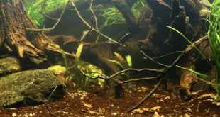 Biotope Aquarium Neon Rainbow West Papua