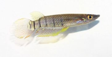 Aplocheilus lineatus by Priyankar Chakraborty