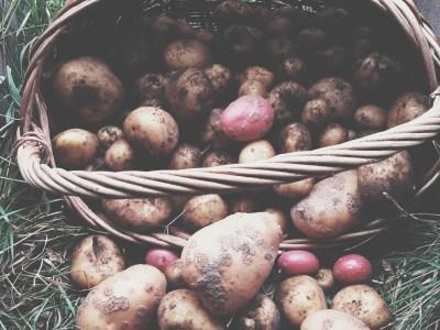 Kartoffelkorb mit Permakultur Kartoffeln
