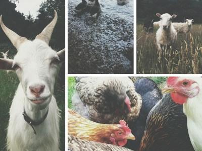 seltene Tiere auf dem Bauernhof