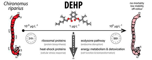 Esquema del trabajo publicado sobre el DEHP