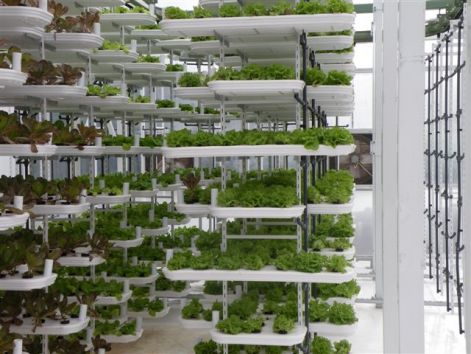 Image Result For How To Grow Ginseng In A Greenhouse