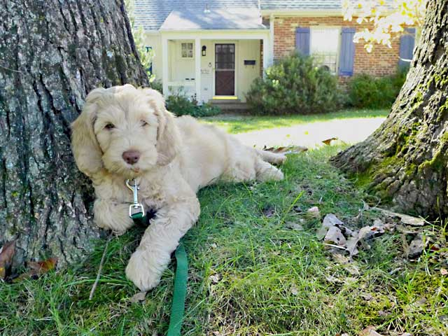 Puppy lounging in front yard