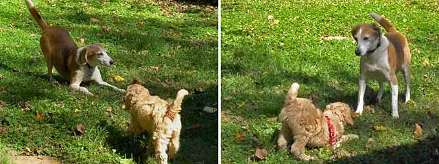 Labradoodle puppy and older hound exchange play bows