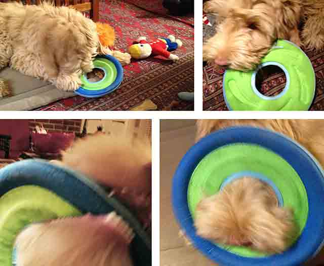 Puppy plays with frisbee, caught on nose