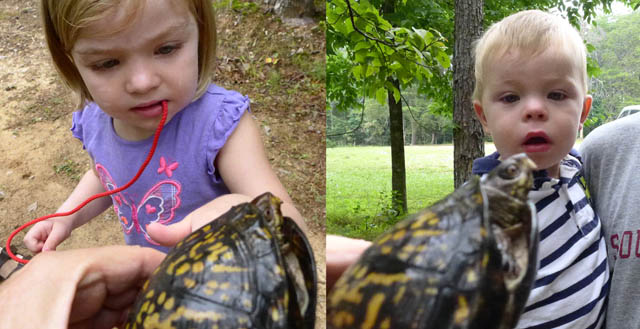 examining box turtle