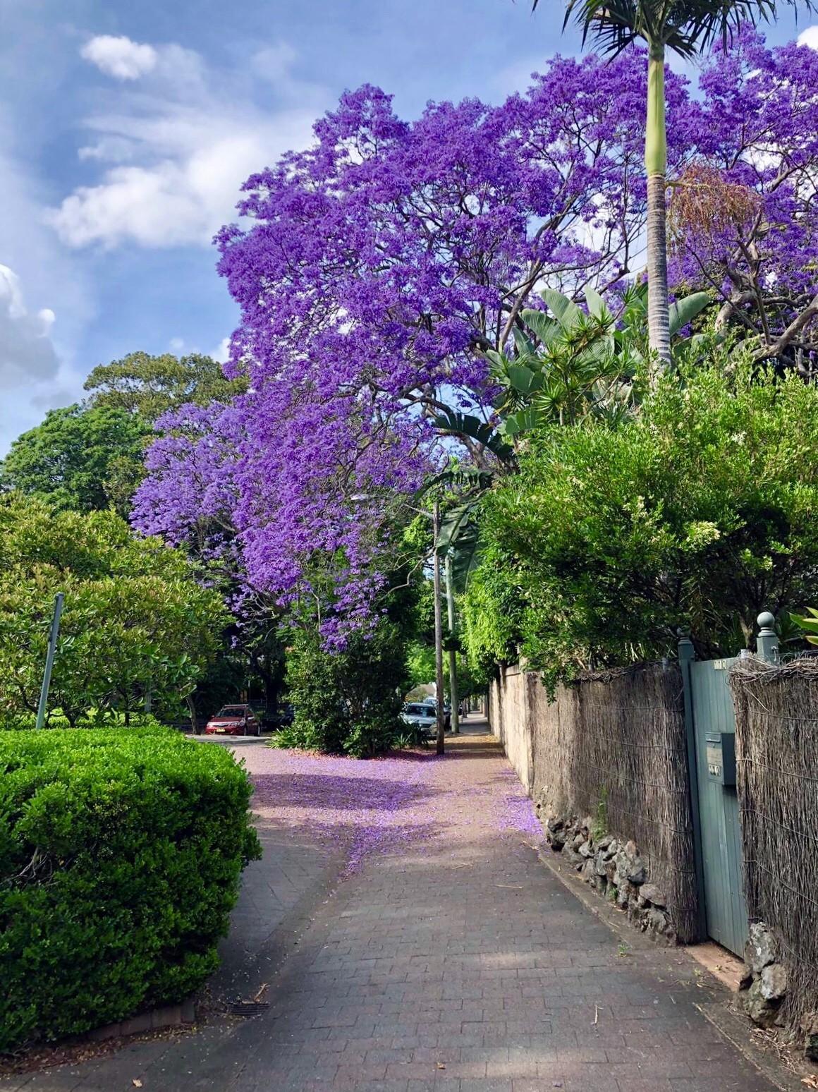 sydney-jacaranda