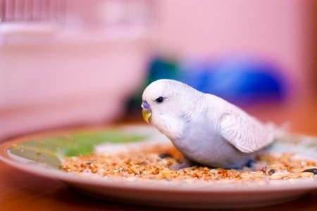 blue and white budgie eating on a plate with dry cereal