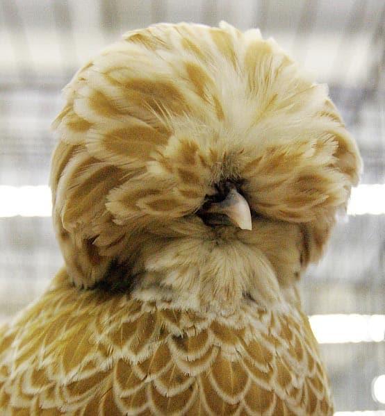 Buff-colored Polish Laced Chicken.