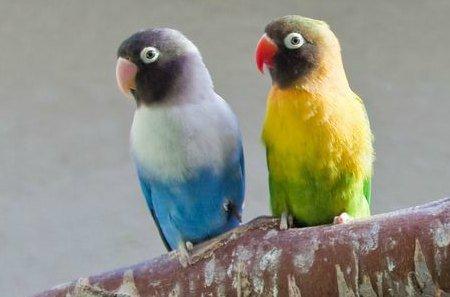 Caring for 2 senior lovebirds