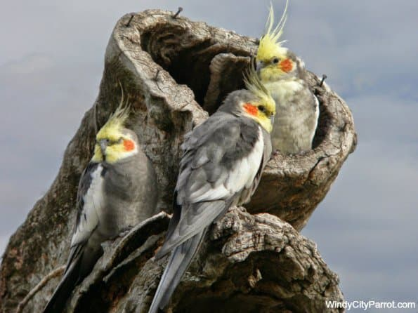 This condition could chiefly confront cockatiels all over creation