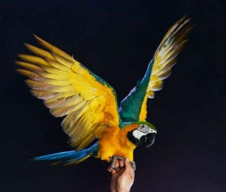 Blue and gold macaw parrot on mans hand wings outstretched on black back ground
