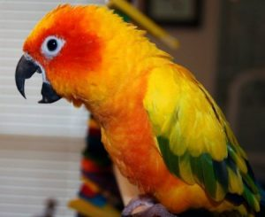 Help – my sun conure screams loudly when he cannot see me