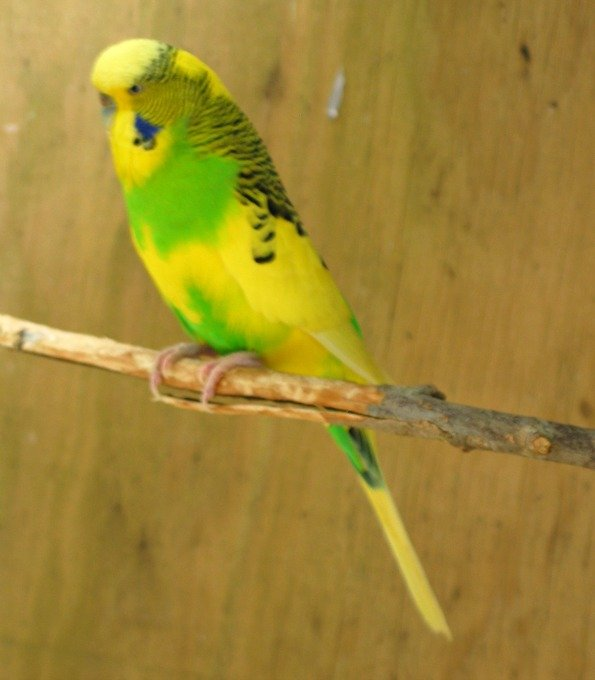 Would a Medium Size Parrot from Brazil Adopt a Small Parrot from Oz, the Land Down Under?