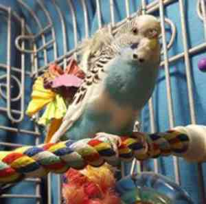 Budgies are NOT like cockatiels – perch placement in the cage is very different