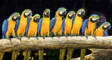 Blue and gold macaw parrots sitting on log with black background (bird, macaw)