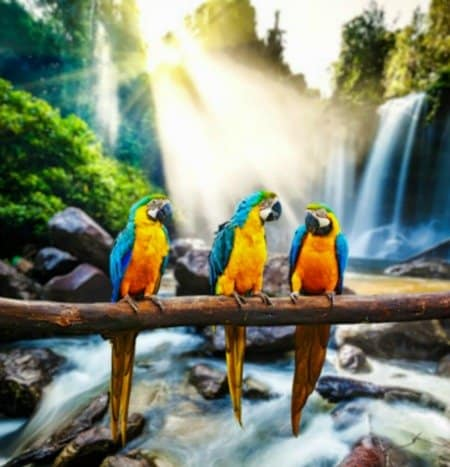 3 blue ang gold macaw parrots on branch over river in front of a waterfall