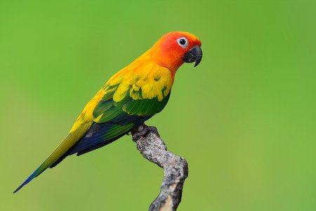 sun conure parrot on branch