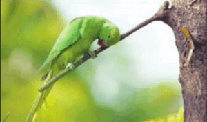 These Indian parrots are opium addicts