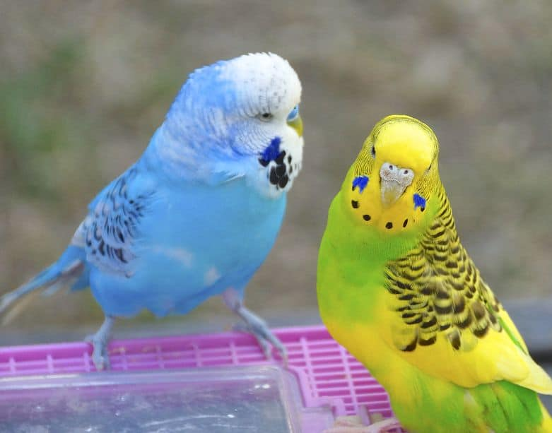 The close view of 2 budgies (parakeets)