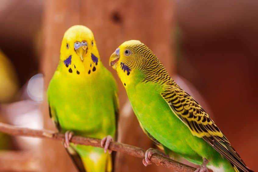 Do parrots know what they're saying or are they just repeating sounds?