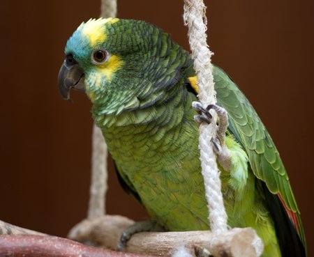 Lessons learned from this successful captive blue front amazon parrot keeper