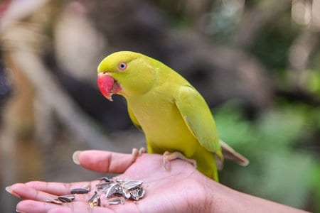 parrot is eating sunflower seeds on people hand