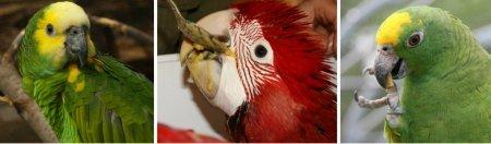 amazon macaw baby and amazon parrot feeding