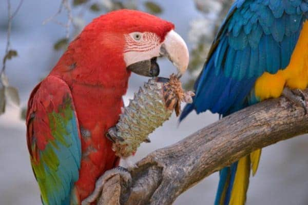 Green-winged macaw eating pine cone perched on branch