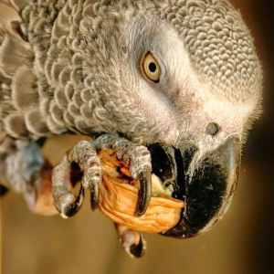 Close up African grey parrot eating walnut from his foot