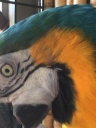 Left side of blue and gold macaw parrot head