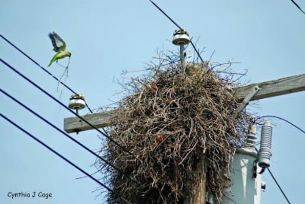 quaker parrot nest in electrical transformer