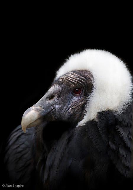 head shot Andean condor