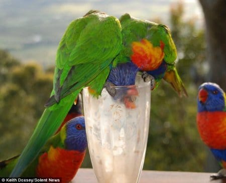 2 lorikeets drinking from a milkshake in tall glass with other lorikeets looking on