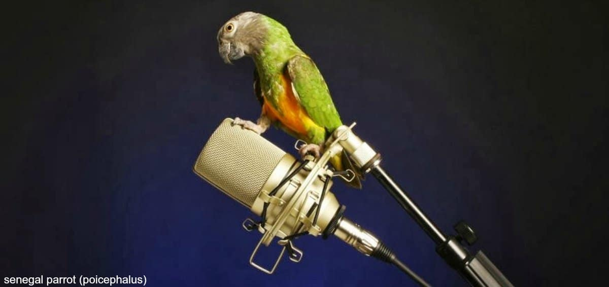Where Can I Buy A Talking Parrot?