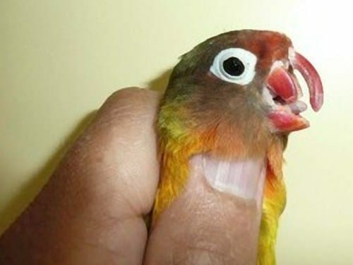 parrot with broken beak