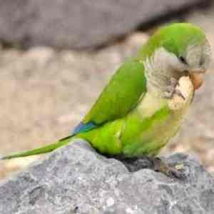 Quaker parrot eating a peanut