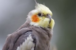 close up of pied cockatiel