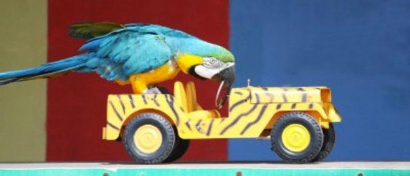 macaw parrot driving toy jeep with zebra paint job