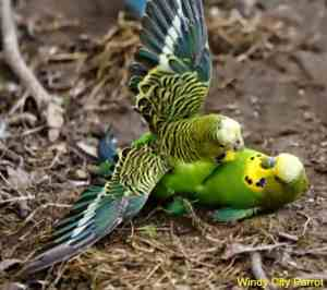 7 Budgie And Parakeet Questions Answered