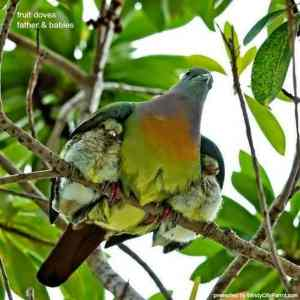 male fruit dove with chick under each arm in the rain