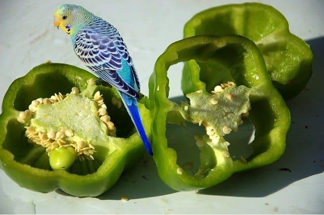 budgie on sliced open green bell pepper
