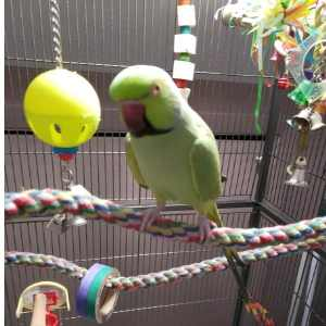 African ringneck on booda comfy rope perch