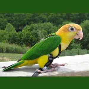 Aviator Flight Harness & Leash for 75 – 110 gram Birds Petite Black