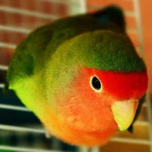 peach faced lovebird closeup