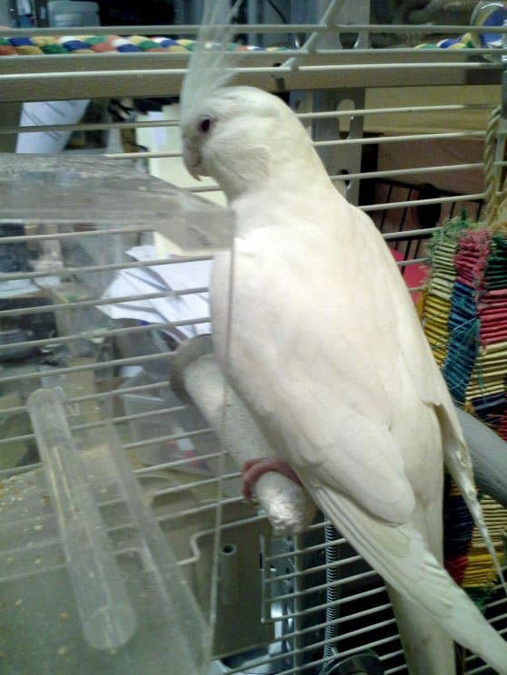 white cockatiel in cage standing on grooming perch