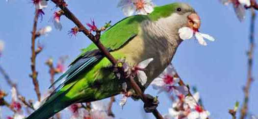 Quaker parrot in lilac tree munching on flower