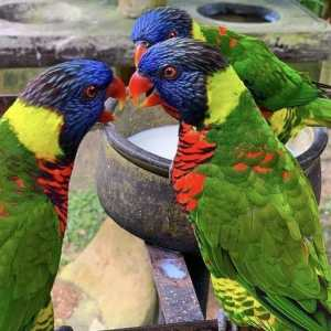 2 rainbow lorikeets conversing with a third in the background